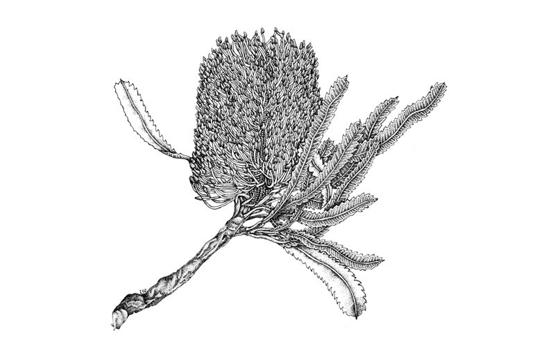 Banksia serrata Pen & Ink 1