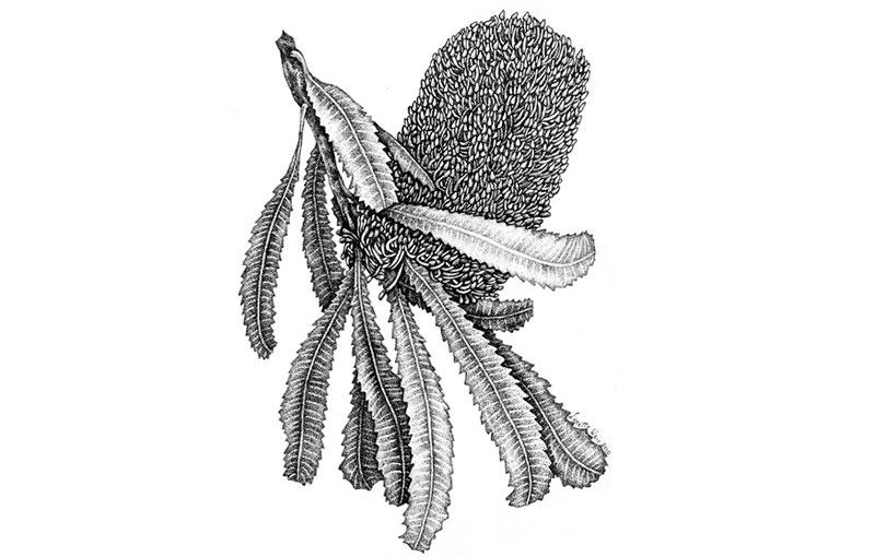 Banksia serrata Pen & Ink 2