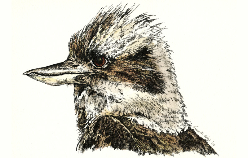 Kookaburra 1 Illustration