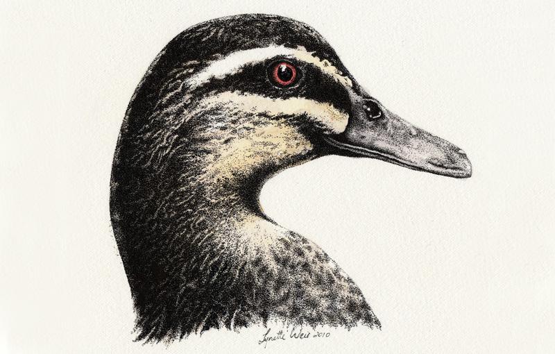 Pacific Black Duck 1 Illustration