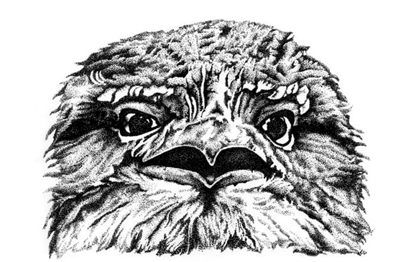 Tawny Frogmouth 2 Illustration