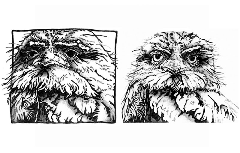 Tawny Frogmouth Sketches – Pencil