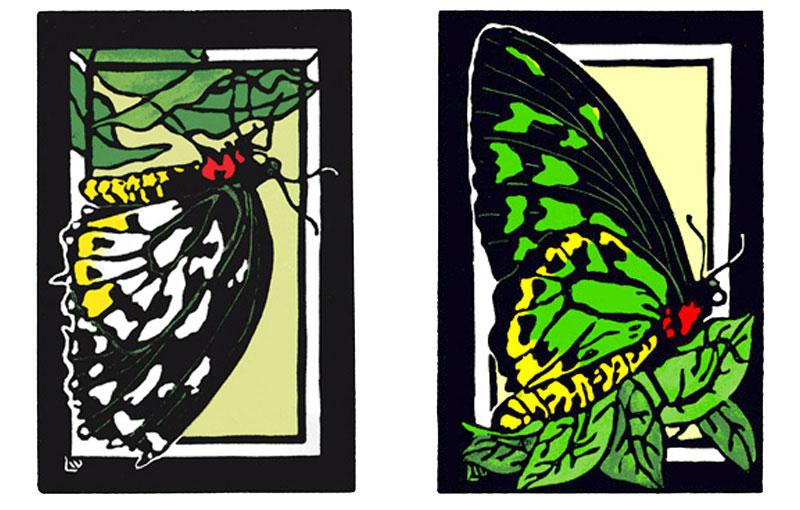 Richmond Birdwing Butterfly – Female & Male